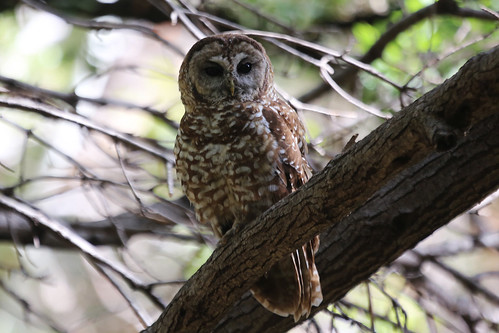 Spotted Owl #9 | by Aaron Maizlish