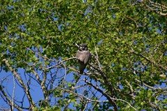 Northern Hawk Owl Nr Edmonton Alberta