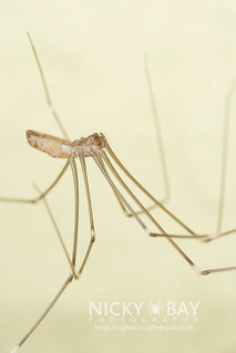 Daddy Long Legs Spider (Smeringopus pallidus) - IMG_6783