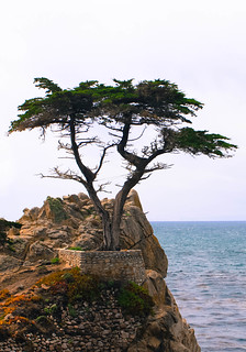 Lone Cypress Tree | by c.93