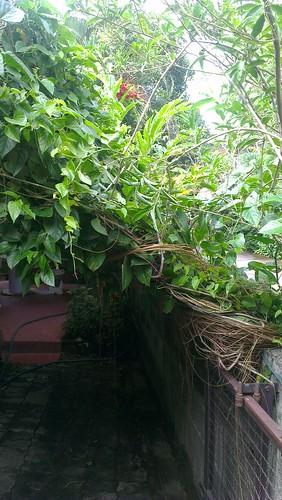 bali curtain (Cissus sicyoides) pulled back   by kafka4prez