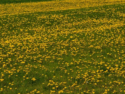 green grass yellow olympus dandelions omd em5