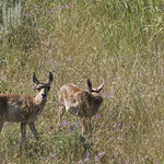 Pronghorn Antelope fawns