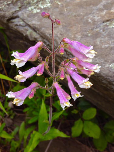 Penstemon hirsutus, flower. C & O Canal Park, Montgomery co., MD. (4/26/12) | by FritzFlohrReynolds