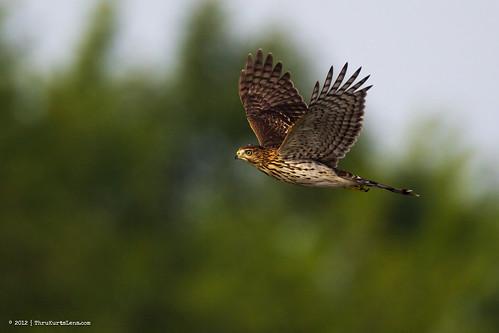 heron nature canon dragonfly wildlife ngc buckscounty greatblueheron coopershawk peacevalleypark thrukurtslenscom kurtwecker 842012