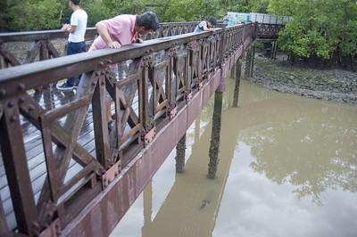 Estuarine crocodile (Crocodylus porosus) below the Main Bridge