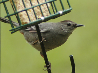 Gray Catbird | by midgetinvasion
