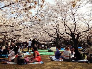 Yoyogi park hanami   by kalleboo