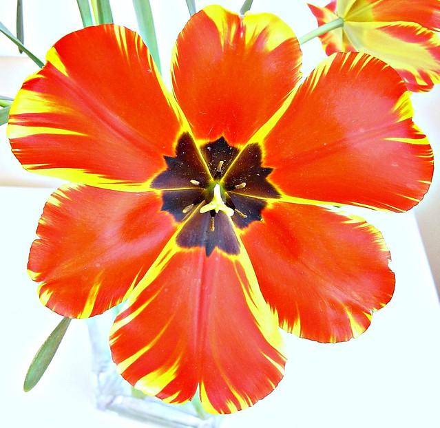 DSC03778 Tulip Open