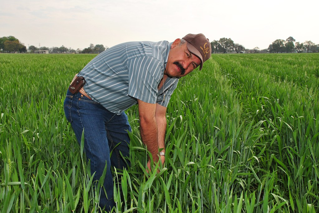 Mexican farmer turned seed producer visits his wheat field