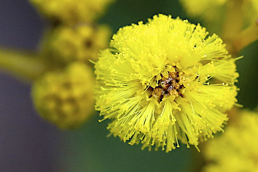 Acacia Pycnantha Leguminosae Golden Wattle You Can See T Flickr