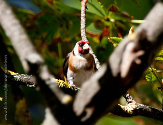European Goldfinch or Goldfinch (Carduelis carduelis) | by aMa2er