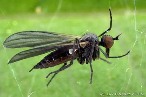 ontario spiderweb insecta dancefly ipperwashbeach dipteraflies photographerjaycossey