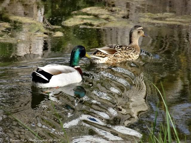 Le couple de Canards sur le Marais