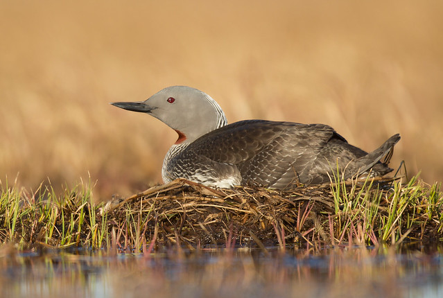 Red-throated Loon on Nest