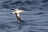 Short-tailed Albatross - Phoebastria albatrus by 1 RareBird