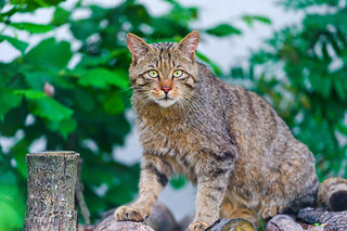 Wild cat on the wood pile | by Tambako the Jaguar