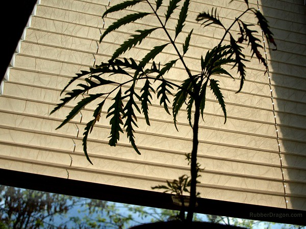 White Blinds Plant