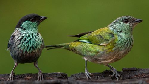 Tangara heinei male & female (Black-capped Tanager) | by PriscillaBurcher