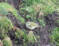 Yellow-browed Warbler (2)