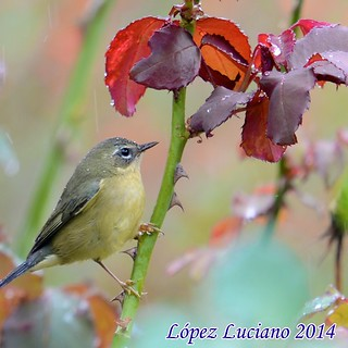 CIGUITA AZUL HEMBRA. Setophaga caerulescens.BLACK THROATED BLUE WARBLER. | by LOPEZ LUCIANO 7,000,000 VISITAS.GRACIAS....