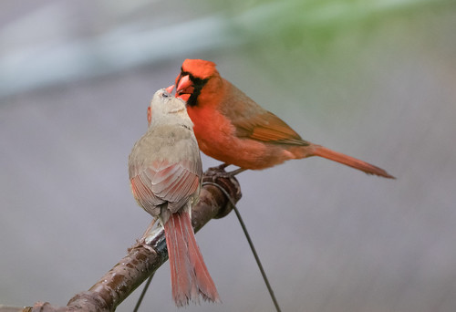 Cardinal feeding his mate