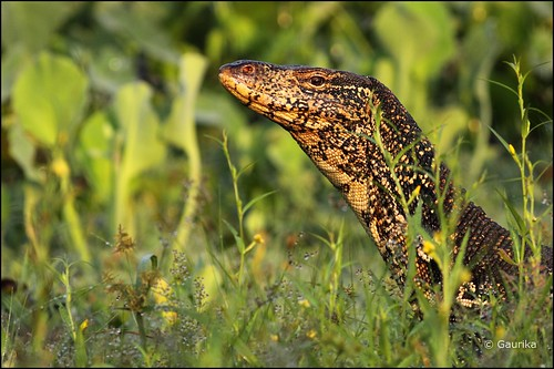 Monitor lizard @ Talangama Wetlands | by GaurikaW
