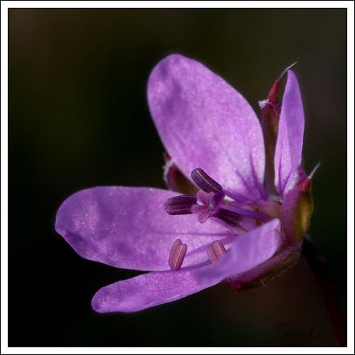 petite fleur sauvage - Erodium   by Sandra-Photographie