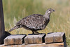 Greater Sage-Grouse by Aaron Maizlish