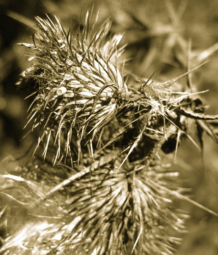 macro sepia bokeh dry thorns delicate odc canona1000is