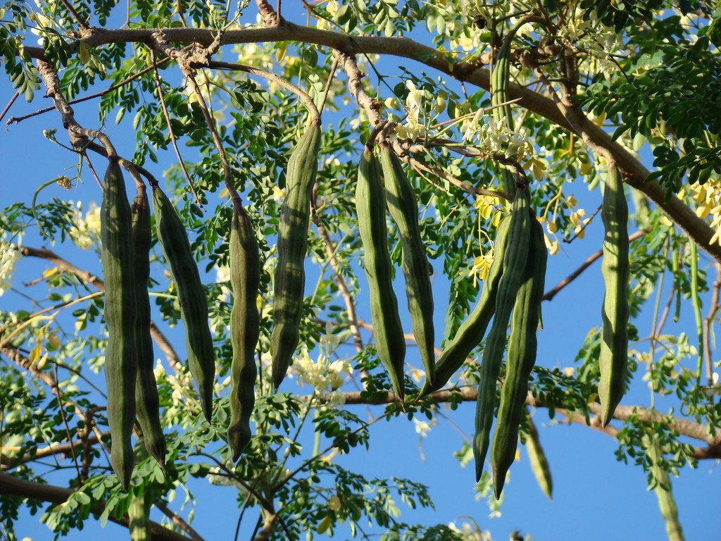Image result for moringa tree with pods