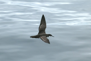 Galapagos Shearwater | by Calidris!