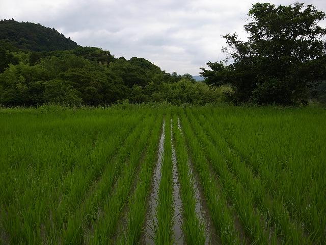 <p>f)田んぼの中には草は生えないんですね!</p>