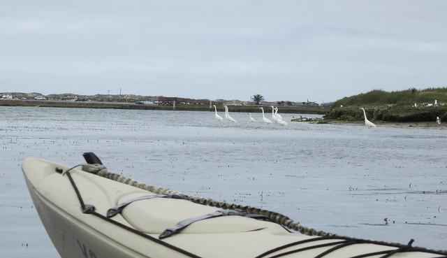 White Egrets on Elkhorn Slough