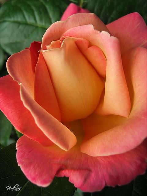 Nevena Uzurov - Rose is rose