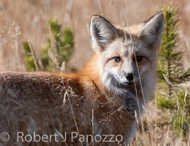 Foxy Face Off