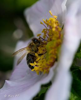 Abella - Abeja - Bee - Api - Abeille - Bienen - Abelha