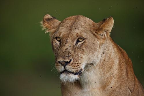 Longing Lioness