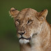 Image: Longing Lioness