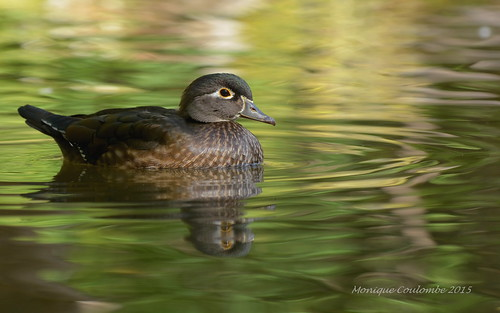 Canard branchu Femelle - Wood Duck Female | by Monique Coulombe