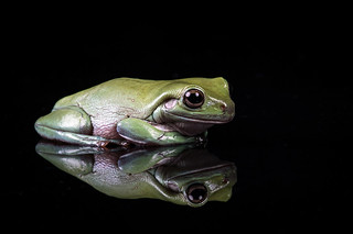 White's tree frog | by hehaden