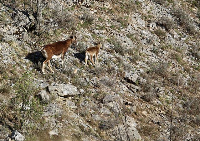 IMG_2113 - A4 - France, Rabou : Femelle mouflon (♀) et son agneau / Female bighorn sheep and its cub.