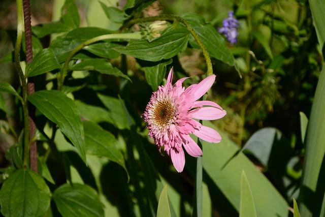 Echinacea - le genre 31785436604_94761275c6_z