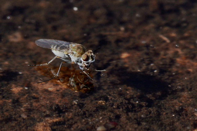 Water fly