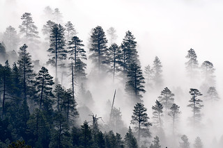 Trees in the mist | by Coconino National Forest