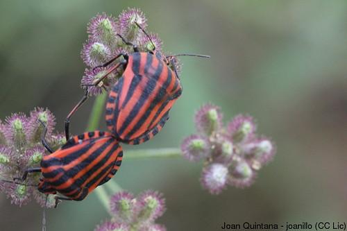 Graphosoma lineatum | by Joan Quintana (joanillo)