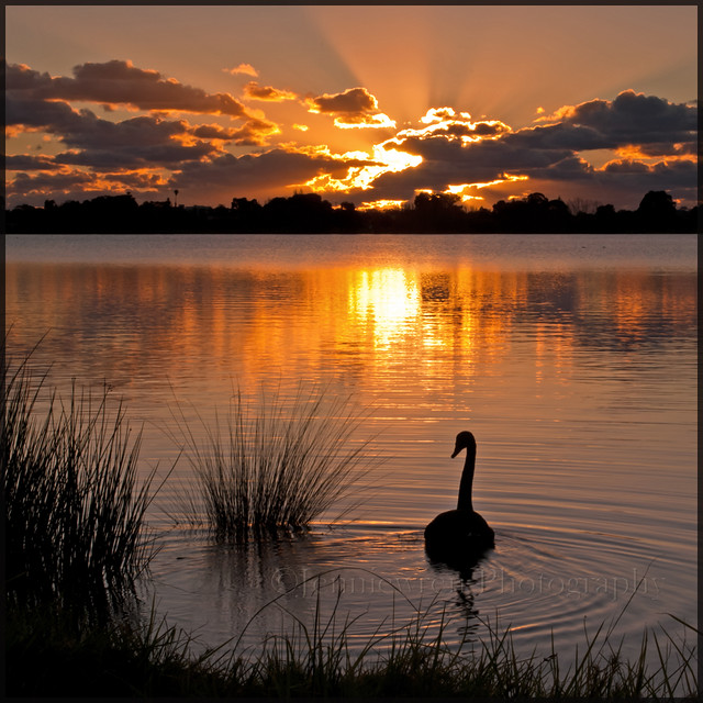 Swan at sunset ~Explored ~