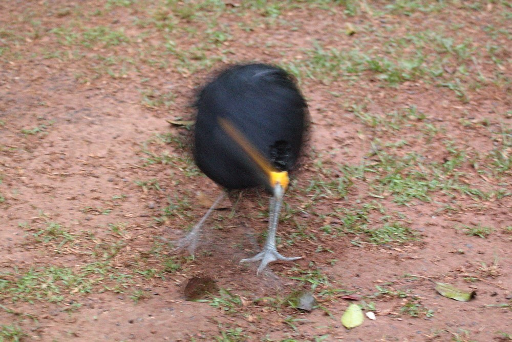 Black Currasow Atta Lodge Iwokrama Forest
