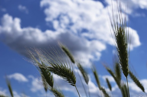 pentax k5 above angle blue camera celeste cielo clouds colors composition countryside depth focus gimp greens grass italy lazio light meadow motion nature photography noseup mood perspective silhouettes sky spring tones up view walk weather white wind year wheats stefanorugolo