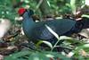 Siamese Fireback - Lophura diardi - ไก่ฟ้าพญาลอ by Birding Doc